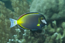 BD-170313-Sipalay-5230-Acanthurus-nigricans-(Linnaeus.-1758)---Whitecheek-surgeonfish.-Filippinsk-kirurgfisk.jpg