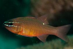 BD-170318-Dauin-5611-Ostorhinchus-chrysotaenia-(Bleeker.-1851)---Yellowlined-cardinalfish.jpg