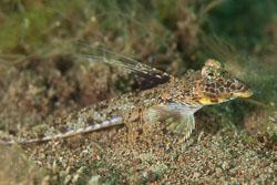 BD-170322-Dauin-6820-Callionymus-sp.-Linneaus.-1758,-Dactyloptena-orientalis-(Cuvier.-1829)---Oriental-flying-gurnard.jpg