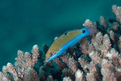 BD-130714-Maldives-0647-Halichoeres-sp.-Rüppell.-1835.jpg