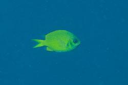 BD-170325-Balicasag-7181-Chromis-analis-(Cuvier.-1830)---Yellow-chromis.jpg