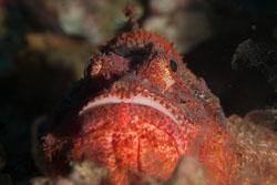BD-170319-Apo-5906-Scorpaenopsis-oxycephala-(Bleeker.-1849)---Caledonian-devilfish.jpg
