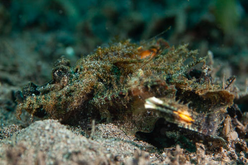 BD-200218-Dauin-2760-Scorpaenopsis-neglecta.-Heckel.-1837.-Yellowfin-scorpionfish.jpg