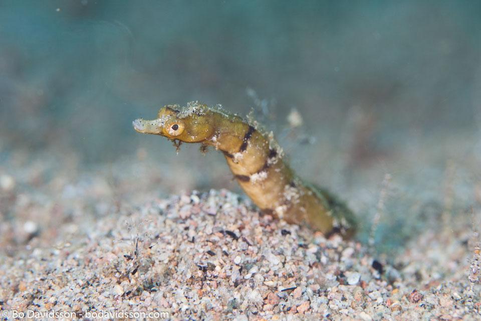 BD-170322-Dauin-6418-Corythoichthys-benedetto.-Allen---Erdmann.-2008---Benedetto's-pipefish.jpg