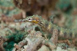 BD-180205-Romblon-8123-Corythoichthys-haematopterus-(Bleeker.-1851).jpg