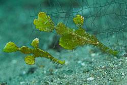 BD-180215-Anilao-0829-Solenostomus-halimeda.--Orr-Fritzsche---Randall.-2002---Halimeda-ghostpipefish.jpg