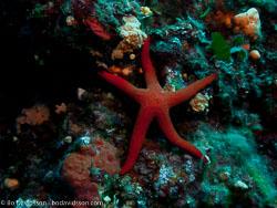 BD-110625-Dubrovnik-6255216-Ophidiaster-sp.-L.-Agassiz.-1836.jpg