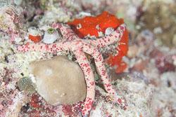 BD-130710-Maldives-0090-Linckia-multifora-(Lamarck.-1816).jpg