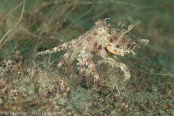 BD-170322-Dauin-6708-Hapalochlaena-lunulata-(Quoy---Gaimard.-1832)---Greater-blue-ringed-octopus.jpg