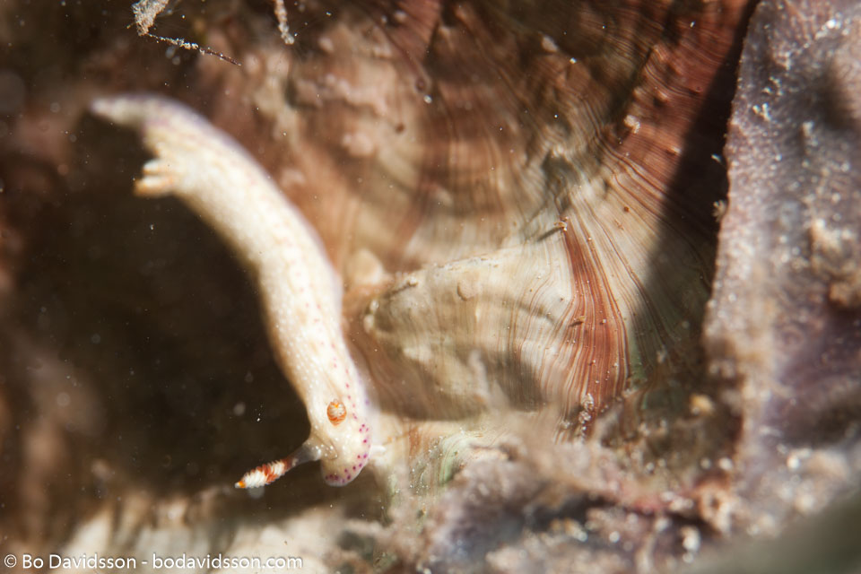 BD-111128-Raja-Ampat-5481-Hypselodoris-sp.-Stimpson.-1855.jpg