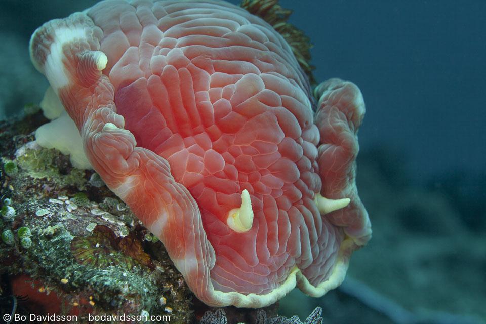 BD-200216-Apo-2571-Hexabranchus-sanguineus-(Rüppell---Leuckart.-1830)---Spanish-dancer.jpg