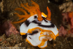 BD-170313-Sipalay-5246-Chromodoris-magnifica-(Quoy---Gaimard.-1832)---Magnificent-chromodoris.jpg
