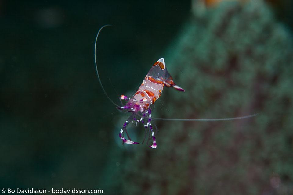 BD-151227-Dauin-0770-Ancylomenes-luteomaculatus.-Okuno---Bruce.-2010.jpg