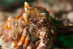 BD-151231-Malapasqua-1624-Dardanus-pedunculatus-(Herbst.-1804).jpg