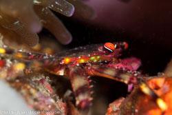 BD-161028-Pura-3427-Percnon-planissimum-(Herbst.-1804)---Flat-rock-crab.jpg