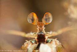 BD-180211-Anilao-9626-Odontodactylus-cultrifer-(White.-1850).jpg