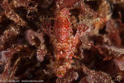 BD-161030-Pura-4138-Scorpaenopsis-sp.-Heckel.-1839.jpg