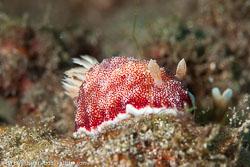 BD-141021-Bali-5855-Goniobranchus-reticulatus-(Quoy---Gaimard.-1832).jpg