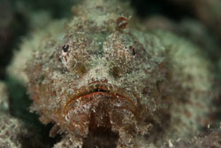 BD-180204-Romblon-8001-Scorpaenopsis-diabolus-(Cuvier.-1829)---False-stonefish.jpg