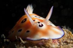 BD-180209-Anilao-8700-Goniobranchus-leopardus-(Rudman.-1987).jpg