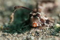 BD-180209-Anilao-8779-Dactylopus-kuiteri-(Fricke.-1992).jpg