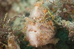BD-180209-Anilao-8793-Antennarius-pictus-(Shaw.-1794)---Painted-frogfish.jpg