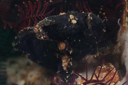 BD-180209-Anilao-8851-Antennarius-pictus-(Shaw.-1794)---Painted-frogfish.jpg