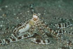 BD-180209-Anilao-8892-Thaumoctopus-mimicus.-Norman---Hochberg.-2005---Mimic-octopus.jpg