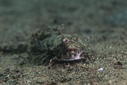 BD-180209-Anilao-8908-Callionymus-keeleyi.-Fowler.-1941.jpg