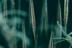 BD-180210-Anilao-9124-Centriscus-scutatus.-Linnaeus.-1758---Grooved-razor-fish.jpg