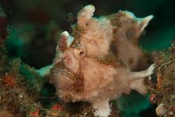 BD-180211-Anilao-9350-Antennarius-maculatus-(Desjardins.-1840)---Warty-frogfish.jpg