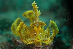 BD-180211-Anilao-9373-Rhinopias-eschmeyeri.-Condé.-1977---Eschmeyer's-scorpionfish.jpg