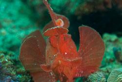 BD-180211-Anilao-9424-Rhinopias-eschmeyeri.-Condé.-1977---Eschmeyer's-scorpionfish.jpg
