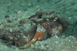 BD-180211-Anilao-9536-Dardanus-pedunculatus-(Herbst.-1804).jpg