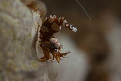BD-180211-Anilao-9586-Thor-amboinensis-(de-Man.-1888)---Sqat-anemone-shrimp.jpg