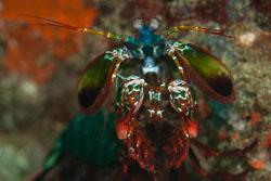 BD-180212-Anilao-9936-Odontodactylus-scyllarus-(Linnaeus.-1758)---Reef-odontodactylid-mantis-shrimp.jpg