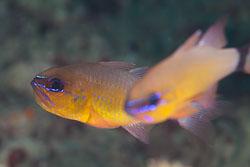 BD-180215-Anilao-0599-Ostorhinchus-aureus-(Lacepède.-1802)---Ringtailed-cardinalfish.jpg