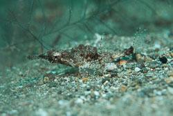BD-180215-Anilao-0904-Eurypegasus-draconis-(Linnaeus.-1766)---Short-dragonfish.jpg