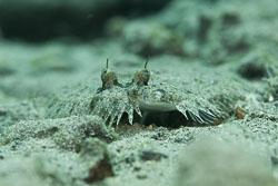 BD-180215-Anilao-0915-Bothus-mancus-(Broussonet.-1782)---Tropical-flounder.jpg