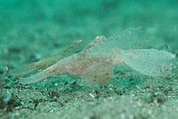 BD-180216-Anilao-1128-Solenostomus-cyanopterus.-Bleeker.-1854---Ghost-pipefish.jpg
