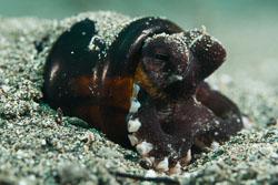 BD-180216-Anilao-1162-Amphioctopus-marginatus-(Iw-Takia-1964)---Coconut-octopus.jpg