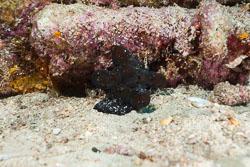 BD-150425-Maldives-8594-Coriocella-nigra.-Blainville.-1824.jpg