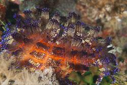 BD-110314-Puerto-Galera-3507-Sea-urchins.jpg