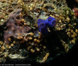 BD-060406-Moalboal--Sea-squirt.jpg
