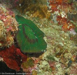 BD-060409-Moalboal--Anthozoa--Corals--Koralldjur-3.jpg