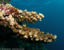 BD-060409-Moalboal--Anthozoa--Corals--Koralldjur-4.jpg