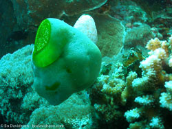 BD-060414-Moalboal-4141245-Sea-squirt.jpg
