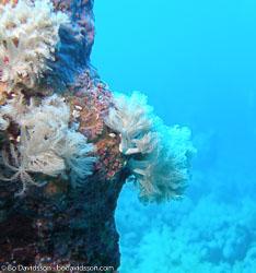 BD-071211-Ras-Mohammed-111729-Coral.jpg