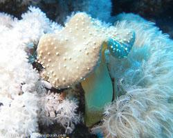 BD-071212-Tiran-121815-Coral.jpg