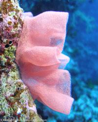BD-071214-Tiran-141874-Coral.jpg